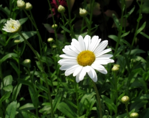 Backyard Daisy