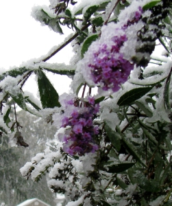 Flowers covered with snow on butterfly bush