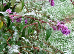 Snow on butterfly bush