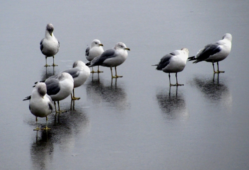 Ring-billed gulls on ice