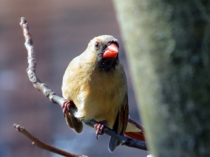 The attentive female cardinal