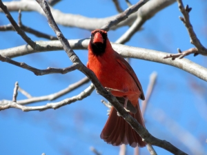 The male cardinal fanning his tail feathers