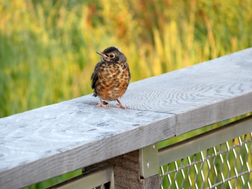baby robin on railing fridays fences