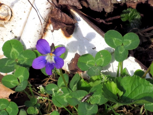 A single violet next to the shed