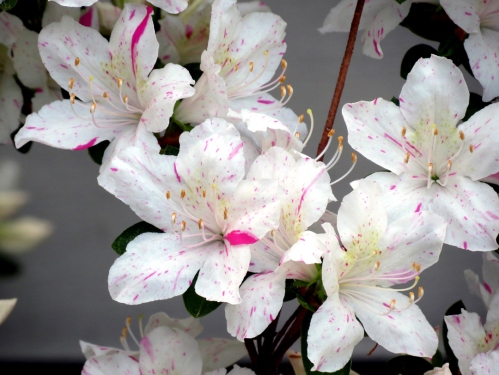 These azaleas are white with speckles of pink.