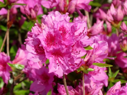 Pink azaleas facing the morning sun